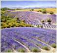 Fields of lavender near Valensole, Provence
